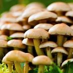 Marinované houbičky