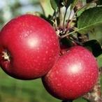 Jablkové řezy