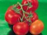 Rajčata – co s nezralými plody